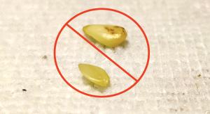 pre-germinating lemon seeds